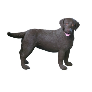 Labrador Retriever Figur gross braun